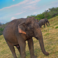 Alberto Carrera, Sri Lankan Elephant, Elephas maximus maximus, Kaudulla National Park, Sri Lanka, Asia