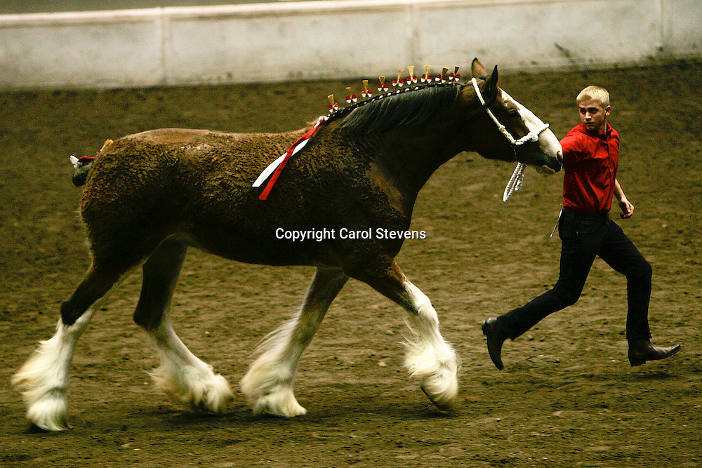World Clydesdale Show 2011