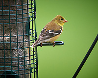 American Goldfinch. Image taken with a Nikon D5 camera and 600 mm f/4 VR telephoto lens (ISO 1600, 600 mm, f/5.6, 1/400 sec).