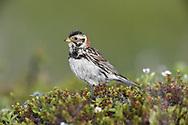 Lapland Bunting - Calcarius lapponicus<br /> female