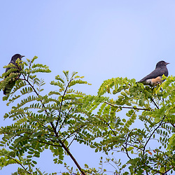 """""""Urubuzinho (Chelidoptera tenebrosa) fotografado em Linhares, Espírito Santo -  Sudeste do Brasil. Bioma Mata Atlântica. Registro feito em 2013.<br /> <br /> <br /> <br /> ENGLISH: Swallow-winged Puffbird photographed in Linhares, Espírito Santo - Southeast of Brazil. Atlantic Forest Biome. Picture made in 2013."""""""