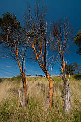Trio of Madrona (Arbutus menziesii) Trees, Yellow Island, San Juan Islands, Washington, US
