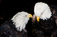 Two elderly bald eagles are having a conference.