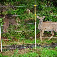 20200424-deer
