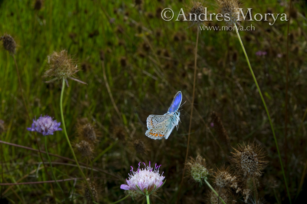 Insects in flight, high speed photographic technique, flying, wings, motion, insect Common Blue in flight (Polyommatus icarus), Provence, France. This is a small butterfly in the family Lycaenidae. Common Blue in flight (Polyommatus icarus), Provence, France. This is a small butterfly in the family Lycaenidae. Image by Andres Morya