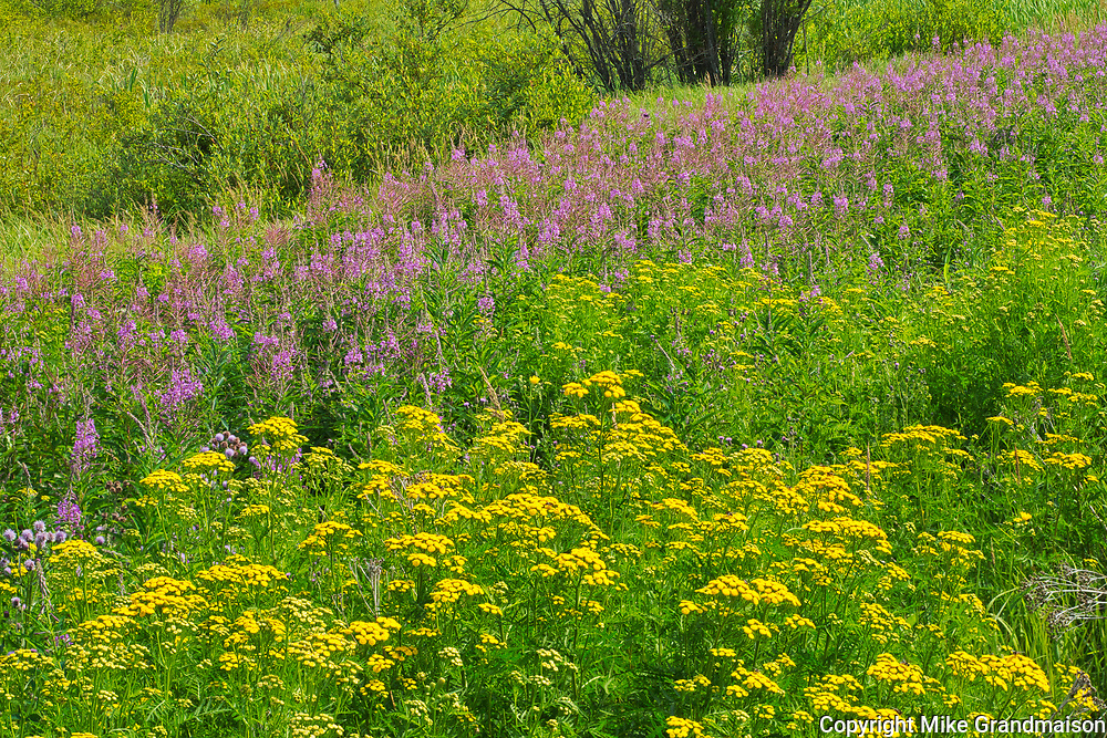 Tansy ((Tanacetum vulgare)) and fireweed (Epilobium sp.) blossoms at edge of boreal forest. <br />Near Kenora<br />Ontario<br />Canada