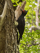 A female Magellanic Woodpecker in the Southern Beech forests of Patagonian Lake of the Desert, near El Chalten