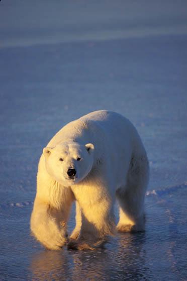 Polar Bear, (Ursus maritimus) On frozen ice of Churchill, Manitoba. Canada.