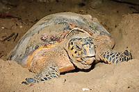 Hawksbill turtle laying eggs, Gulisan, Sabah, Malaysia.
