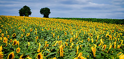 Sunflowers growing in the Pays de la Loire, France<br /> <br /> (c) Andrew Wilson | Edinburgh Elite media