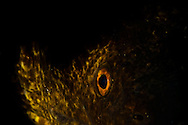 Eye of Smaug, Yellow Margin Eel, Maui Hawaii