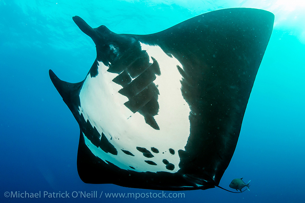 "A Giant Pacific Manta Ray, Manta birostris, swims at ""The Boiler"", a seamount in the remote Revillagigedo Archipelago, roughly 220 miles south / southwest of Cabo San Lucas, Mexico."