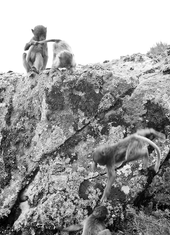 Young geladas playing on the Guassa Plateau of Ethiopia