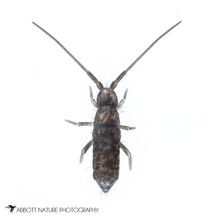 Springtail (Pogonognathellus dubius)<br /> United States: Alabama: Tuscaloosa Co.<br /> Tulip Tree Springs off Echola Rd.; Elrod<br /> 21-Jan-2018<br /> J.C. Abbott #3022