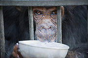 Chimpanzee<br /> Pan troglodytes<br /> Rescued chimpanzee infant (named Leo) drinking Posho meal<br /> Ngamba Island Chimpanzee, Sanctuary <br /> *Captive