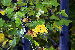 10 Oct 2011: Tulip trees in early fall. Rural Indiana, specifically in or close to Brown County.