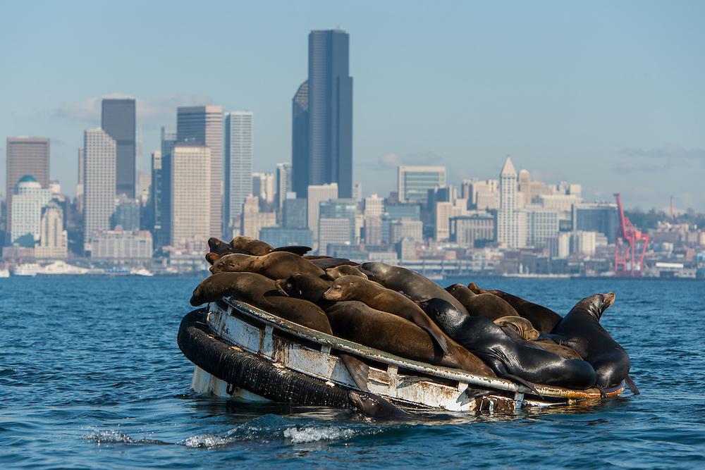 California Sea Lions (Zalophus californianus) in Elliot Bay,  Seattle, Washington. Photo by William Drumm.