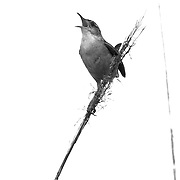 A bird calling in black and white
