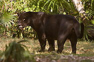 Panthera onca (Jaguar): Mammalia: Carnivora: Felidae - black form<br /> Mexico: Quintana Roo<br /> Parque Xcaret in Cancun<br /> 29.April.2008<br /> J.C. Abbott