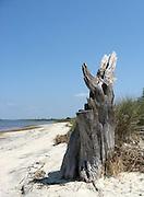 Lone, weathered, salt encrusted, tree stump on Jekyll Island beach.
