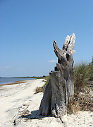 Lone, weathered, salt encrusted, tree stump on Jekyll Island beach.