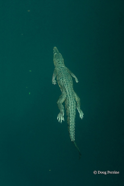 Morelet's crocodile, Central American crocodile, or Belize crocodile, Crocodylus moreletii,  swimming underwater in cenote, or freshwater spring, near Tulum, Yucatan Peninsula, Mexico