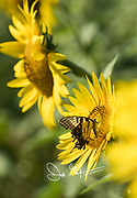 A butterfly collects nectar from a sunflower.