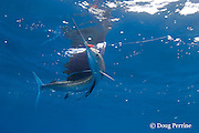 Atlantic sailfish, Istiophorus albicans ( considered by some to be a single species worldwide, Istiophorus platypterus ), seizes a hookless teaser lure, off Yucatan Peninsula near Contoy Island and Isla Mujeres, Mexico ( Caribbean Sea )
