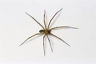 Brown Spider (Brown Recluse, Loxosceles deserta)