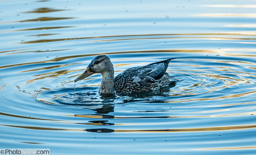 Water rolls off from a female mallard duck (Anas platyrhynchos) onto the rippling reflective surface of the Snake River in Grand Teton National Park, at Schwabacher Landing, Jackson Hole, Wyoming, USA.