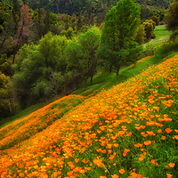 Hillside of California Poppies in the Sierra Nevada foothills near Coloma, California.