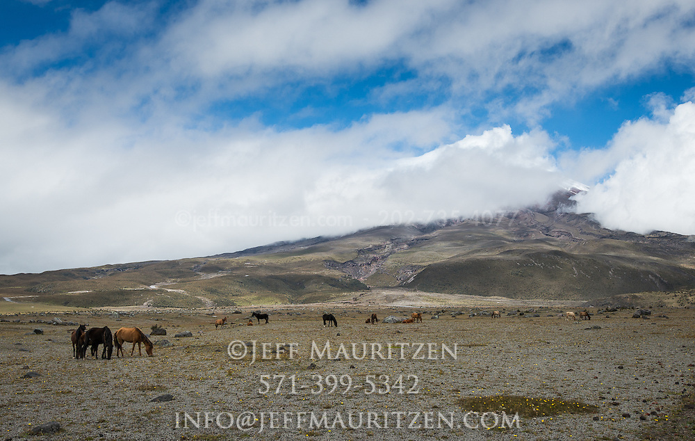 Wild horses graze the grasslands below Cotopaxi volcano in Ecuador, one of the highest active volcanoes in the world.