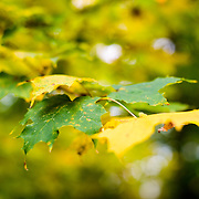 Green and yellow fall leaves in upstate New York.