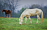 Horses grazing at Shelby Farms Memphis TN.