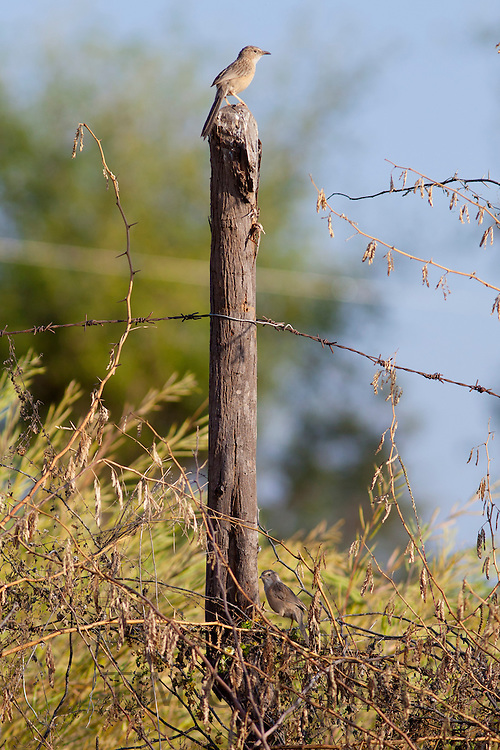 Common Babbler bird on fencepost at Chattra Sagar nature reserve at Nimaj, Rajasthan, Northern India