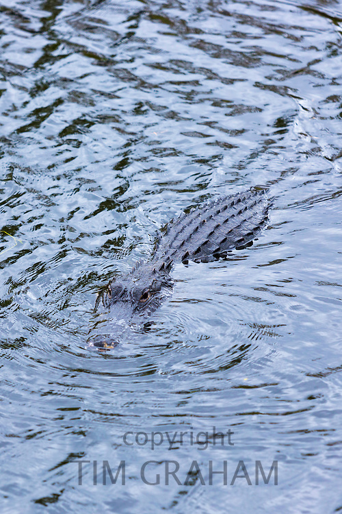 American alligator swimming in river in the Florida Everglades, United States of America