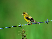 American Goldfinch (Carduelis tristis) female, Millarville, Alberta, Canada - Photo: Peter Llewellyn