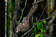 The Greater Dwarf Lemur (Cheirogaleus major) are a nocturnal species of lemur native to Madagascar