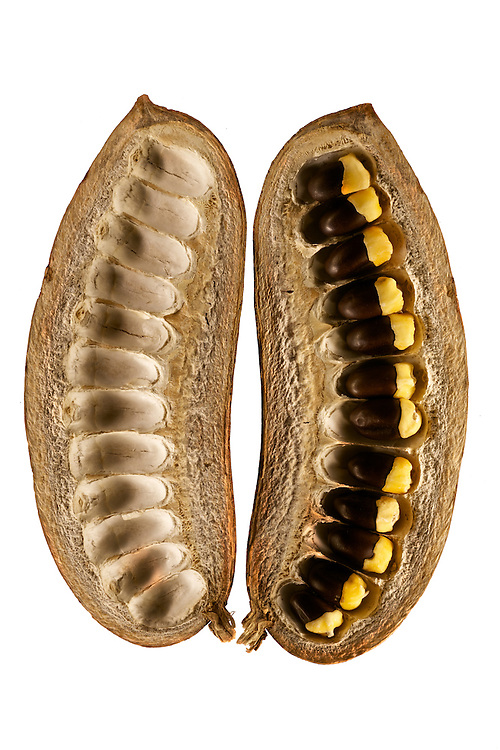 Seed from the Kew Millennium Seed Bank collection at Wakehurst, outside London in the UK.  <br /> <br /> <br /> Afzelia africana (Fabaceae) &ndash; African mahogany; collected in Burkina Faso &ndash; open fruit (legume) consisting of the two halves of the single carpel; inside the fruit are a number of large black seeds with a bright orange-red aril attracting birds for dispersal. Because of their attractive appearance the seeds are also used by makers of botanical jewellery; length of pod: 17.5cm.<br />