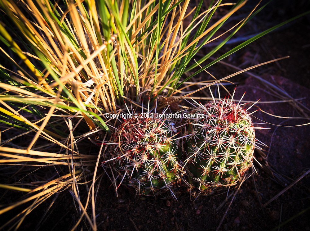 Closeup view of two, small barrel cacti in Hayden Green Mountain Park in Lakewood, Colorado. WATERMARKS WILL NOT APPEAR ON PRINTS OR LICENSED IMAGES.