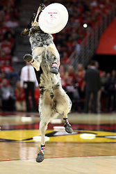 17 January 2015:    Sprocket of the K9 Disc Dog Crew performs at half time during an NCAA MVC (Missouri Valley Conference men's basketball game between the Bradley Braves and the Illinois State Redbirds at Redbird Arena in Normal Illinois