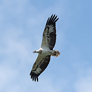 The white-bellied sea eagle (Haliaeetus leucogaster), also known as the white-breasted sea eagle, is a large diurnal bird of prey in the family Accipitridae.