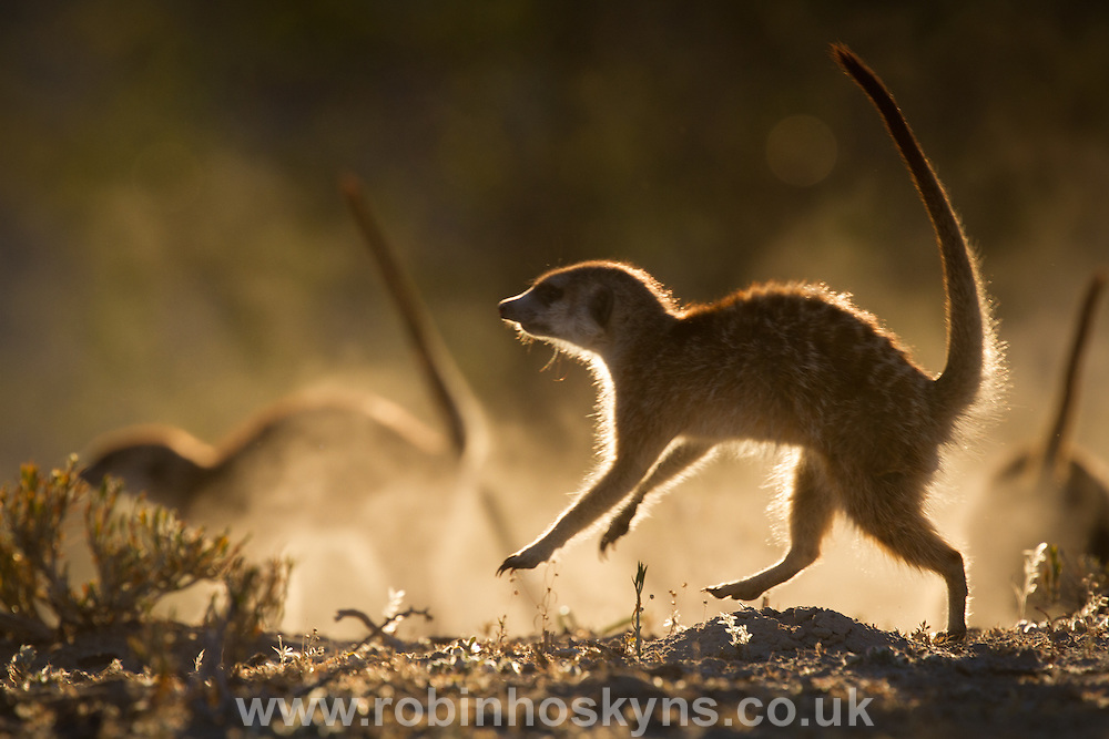 A Meerkat group wardances at another rival group to scare them off.