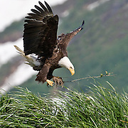 Bald Eagle, (Haliaeetus leucocephalus), brings materials in for the nest in Kukak Bay along the Katmai Coast, Alaska.
