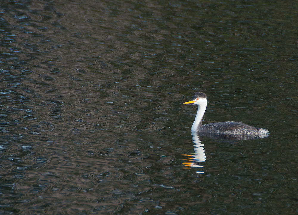 Western Grebe (Aechmophorus occidentalis) at Black Lake, Ilwaco, Washington, US