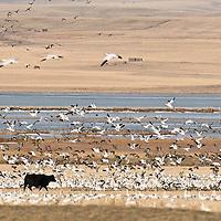 snow geese farm field grain field, black cow snow geese,