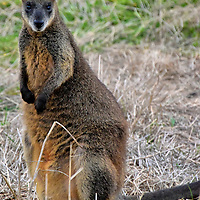 Wild Wallaby on Summerland Peninsula on Phillip Island, Australia<br /> If you drive along The Boulevard at dusk, occasionally look away from the amazing coastline and scan the grassy plains. There may be wallabies watching you. This is a swamp wallaby. At 29 pounds for a female and 37 pounds for a male, they are considerably smaller than a kangaroo. They are adorable. Their distinctive characteristic is the light cheek stripe. They also have a pungent smell, hence the name of this subspecies. Some Aussies just call them stinkers. This macropod uses their forelimbs to hold onto a plant or shrub while eating it. This unusual trait is called browsing. They leverage their tail &ndash; which can be as long as their body &ndash; to help them stand. The Summerland Peninsula is the southernmost tip of the black wallaby&rsquo;s range along eastern Australia.