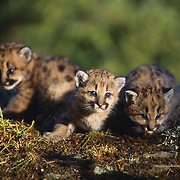 Very young mountain lion cubs in the Rocky Mountains of Montana. Captive Animal