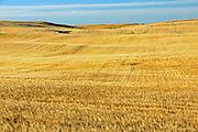 Wheat field<br /> WEBB<br /> Saskatchewan<br /> Canada