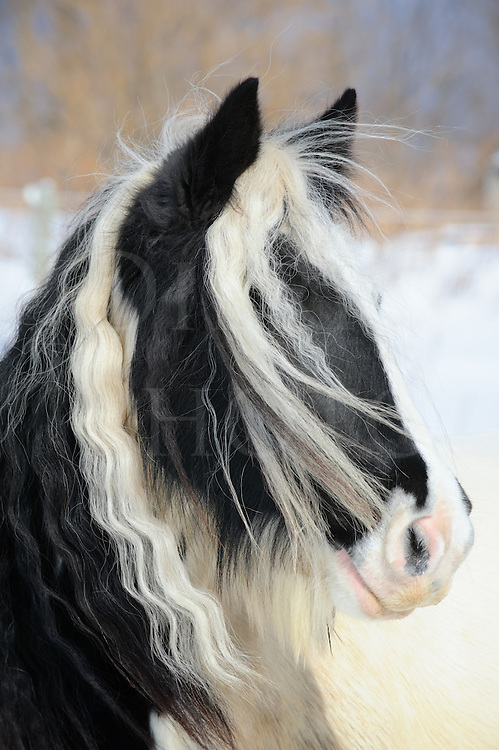 Gypsy Vanner horse head shot with long flowing mane and forelock hair of her winter coat, a purebred black and white paint purebred animal, Pennsylvania, PA, USA.
